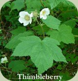 coniferous forest plants thimbleberry
