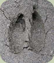 identify deer tracks