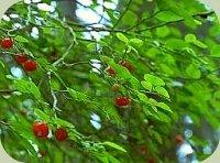 huckleberry plants berries