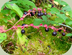 wild edible berries salal