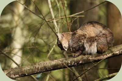 bobcat habitat