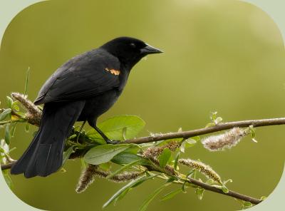 bird communication blackbird