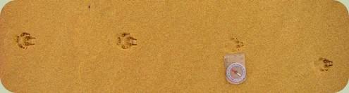 gray fox tracks galloping