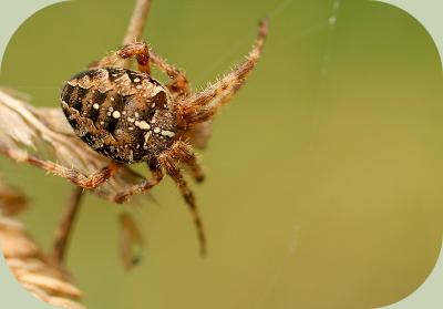 Cross orb weaver spider
