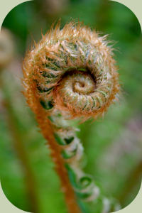 Jasons fiddlehead fern