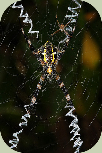 St. Andrews Cross Spiders