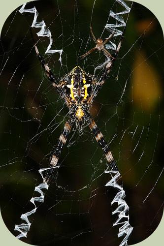 St. Andrews Cross Spiders