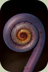 Uluhe fiddlehead fern