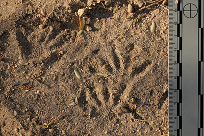 Gila Monster tracks