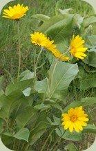 balsamroot plant
