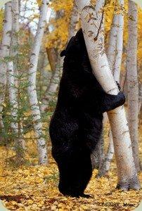 Susan Morse black bear