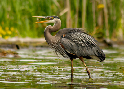 great blue heron catching fish