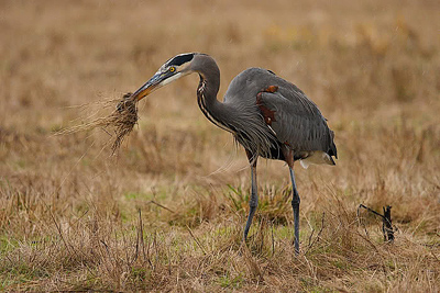 great blue heron with vole