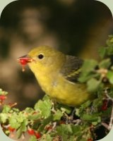 juvenile western tanager eating currant