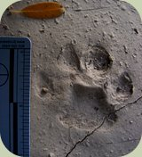 bobcat tracks photo