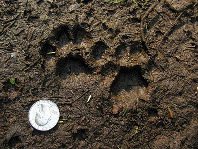 Cat tracks north american species for House of tracks