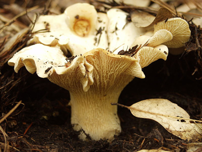 white chantrelle mushrooms