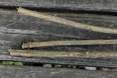 dried and stripped stinging nettle stalks