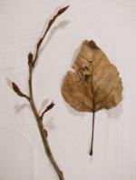 black cottonwood leaf and branch tip