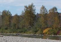 black cottonwood trees