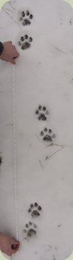 identifying animal tracks