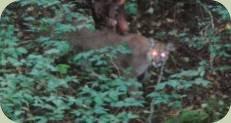 cougar photo