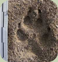 coyote track 3