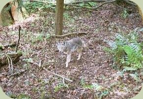coyote tracking photo