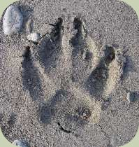domestic dog track