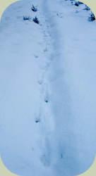 deer walking trail