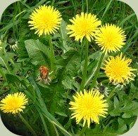 edible wild plants course dandelion