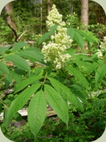 elderberry plants flowers