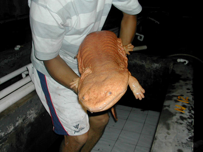 a chinese giant salamander