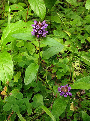 selfheal plant in flower