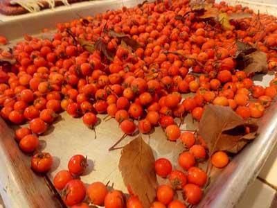 sorting hawthorn fruits
