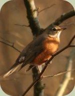 identifying backyard birds american robin