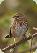 language of the birds song sparrow