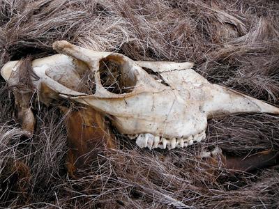 skull of young bull moose