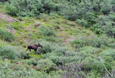 moose browsing on willow