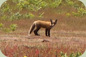 red fox live sighting