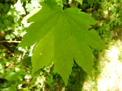 vine maple leaf