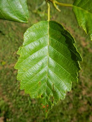 red alder leaf