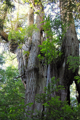 ancient red cedar tree