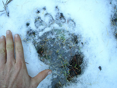 large black bear track