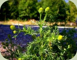 plants that repel mosquitoes pineappleweed