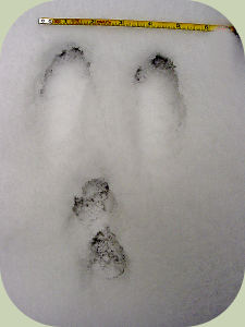 rabbit hare tracks