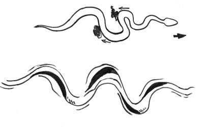 snake tracks lateral undulation