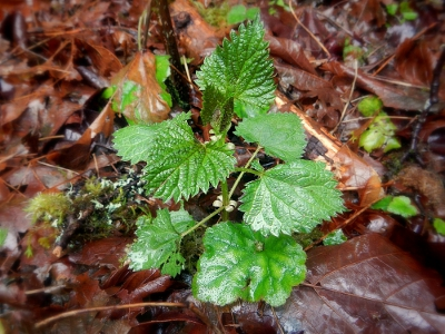 small stinging nettle