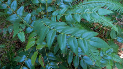 oregon grape used for emergency survival water purification