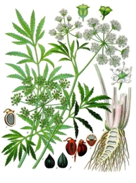 water hemlock drawing